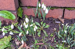 Photo of First snowdrops