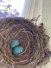 Robin Nest  (3)