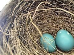 Robin Nest  (10)
