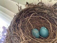 Robin Nest  (9)