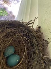 Robin Nest  (8)