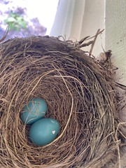 Robin Nest  (6)