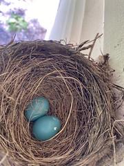 Robin Nest  (5)