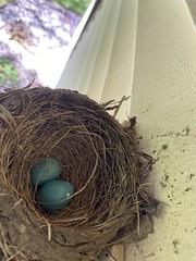 Robin Nest  (2)