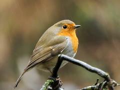 Photo of Robin in the Rain !
