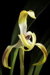 Maxillaria triloris É.Morren, Ann. Hort. Belge Étrangère 20: 240 (1870).