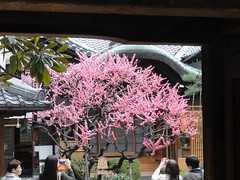 Plum Blossoms in a Temple Courtyard | Kyoto, Japan
