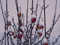 Photo of 2021 01 14 - snowy apples