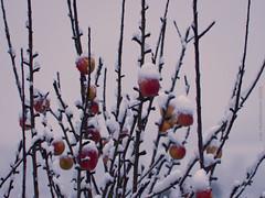 Photo of 2021 01 14 - snowy apples