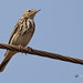 An Uncommon Tree Pipit - On a wire!