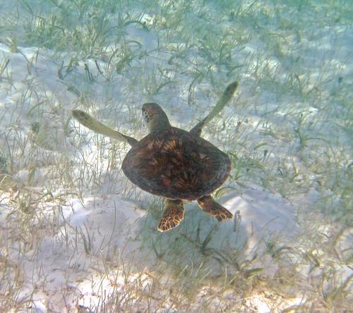 Chelonia_mydas_(green_sea_turtle)_(San_Salvador_Island,_Bahamas)_8_(15996425768)