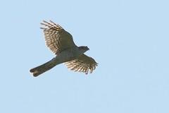 DSC_9995 Sperwer : Epervier d'Europe : Accipiter nisus : Sperber : Northern Sparrow Hawk