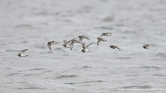 Photo of Ringed plover