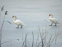 Photo of Swans on Ice