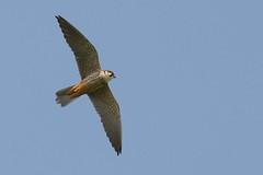 DSC_5896 boomvalk (Falco subbuteo)