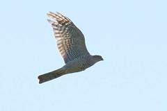 DSC_9997 Sperwer : Epervier d'Europe : Accipiter nisus : Sperber : Northern Sparrow Hawk