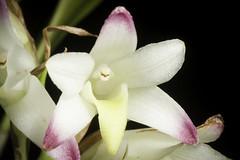 Coelia bella (Lem.) Rchb.f. in W.G.Walpers, Ann. Bot. Syst. 6: 218 (1861).