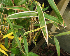 Photo of Bamboo leaves:  20.1.21.