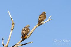 January 16, 2021 - Beautiful red tailed hawks. (Tony's Takes)