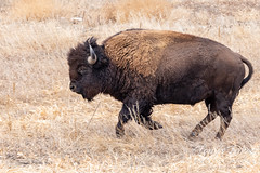 January 16, 2021 - Bison on the run. (Tony's Takes)