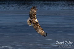 January 20, 2021 - A bald eagle fishes at a Thornton pond. (Tony's Takes)
