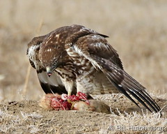 January 18, 2021 - A red tailed hawk and its breakfast. (Bill Hutchinson)