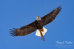 January 16, 2021 - Bald eagle with its take out meal. (Tony's Takes)