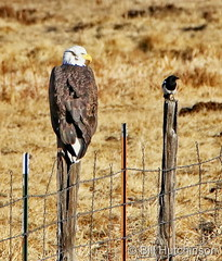 January 15, 2021 - Magpie and eagle. (Bill Hutchinson)