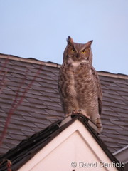January 15, 2021 - Great horned owl hanging out. (David Canfield)