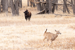 Deer runs from a bison cow