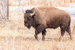 Bison cow on the move