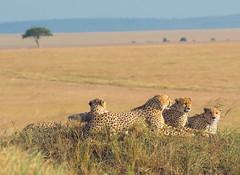 The Five Male Cheetahs of The Masai Mara