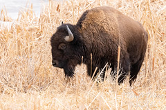 Bison hanging out