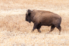 Bison cow on the run