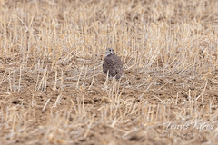 Prairie falcon hanging out in a field