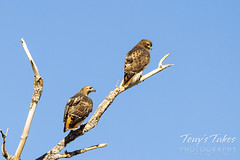 Red tailed hawks hanging out