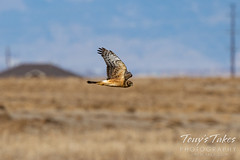 Fast northern harrier flyby