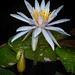 Frog and Waterlily