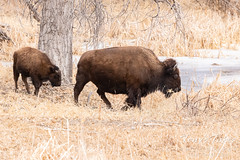 Bison cow and calf head for the water