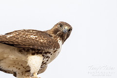Wary red tailed hawk
