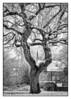 The Lone Oak 8169