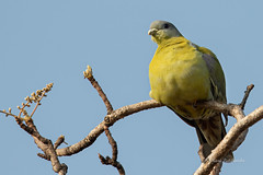 A Chubby Yellow Footed Green Pigeon