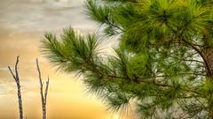 Texas Pine Tree