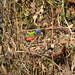 Painted Bunting 01 - Cropped