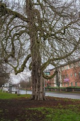 Photo of Old tree in Holgate, York
