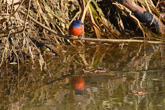 Painted Bunting 08 - Perched Above Pond - Cropped