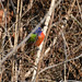 Painted Bunting 02 - Cropped