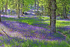 Kinclaven Bluebell wood
