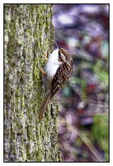 Photo of Treecreeper
