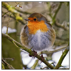 Photo of Robin Redbreast